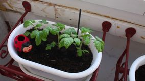 Tomato seedlings grow in pots on the balcony. Tomato seedlings grow in pots on the balcony stock video