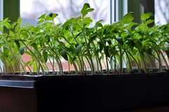 Tomato seedlings growing towards the sunlight on windowsill. Green and healthy tomato seedlings growing in tiny plastic containers ready to transplant to royalty free stock photography