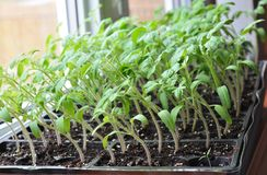 Free Tomato Seedlings Growing Towards The Sunlight On Windowsill. Royalty Free Stock Photography - 113832397