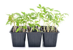 Tomato seedlings isolated Stock Images