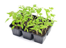 Tomato seedlings isolated. Tomato seedlings in a pot isolated on white background. Young plants in plastic cells; organic gardening Stock Photo
