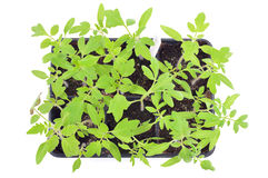 Tomato seedlings isolated. Top view. Stock Images