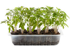 Tomato seedlings in a nursery Royalty Free Stock Photos