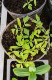 Tomato seedlings and peppers in a greenhouse at the farmer royalty free stock photography