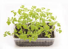 Tomato seedlings. In plastic container Royalty Free Stock Image