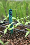 Tomato seedlings in pot Stock Images