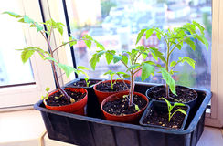 Tomato seedlings in pots Royalty Free Stock Images