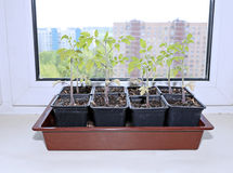 Tomato seedlings in pots on the windowsill Royalty Free Stock Image