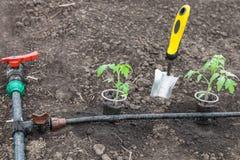 Tomato seedlings prepared for planting Stock Photos