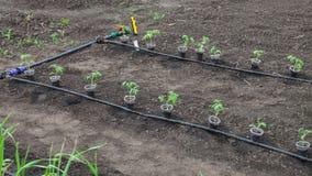 Tomato seedlings prepared for planting Stock Photo