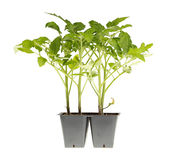 Tomato seedlings ready for transplanting. Side view of a pack of four tomato seedlings (Solanum lycopersicum or Lycopersicon esculentum) ready to be transplanted Royalty Free Stock Photos