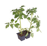 Tomato seedlings ready for transplanting. A pack of two tomato seedlings (Solanum lycopersicum or Lycopersicon esculentum) ready to be transplanted into a home stock photography