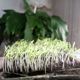 Tomato seedlings sprouting out Stock Photo