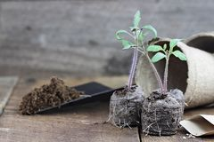 Tomato Seedlings. Three tomato plants with soil in trowel and seedling peat pots in the background over a rustic wooden background. Extreme shallow depth of royalty free stock photos