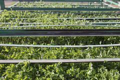 Tomato seedlings trays on trailer racks Stock Photo