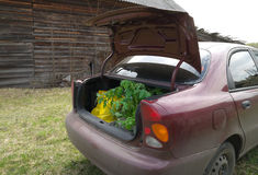 Tomato seedlings in the trunk of a car Royalty Free Stock Photo