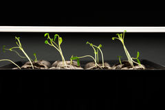 Tomato seedlings under a grow light. Tomato seedlings being grown under lights indoors Royalty Free Stock Photo