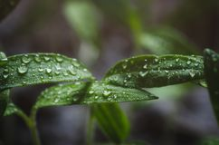 Tomato seedlings with water droplets on the leaves.  stock photo
