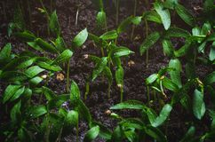 Tomato seedlings with water droplets on the leaves.  stock images