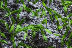 Tomato seedlings with water droplets on the leaves.  royalty free stock photos