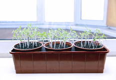 Tomato seedlings on the windowsill Stock Images