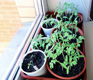 Tomato seedlings on the windowsill Stock Photography