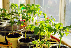 Tomato seedlings Royalty Free Stock Photos