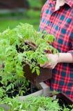 Tomato seedlings Stock Photography