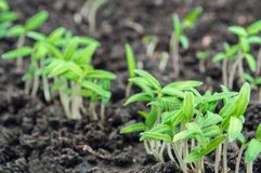 Tomato seedlings. Young green tomato seedlings closeup Stock Photography