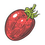 Tomato single. Vector engraved illustration  on white background. Stock Photo