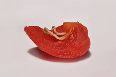 Tomato slice with grown seeds. Macro close-up of tomato seedlings just emerging from the tomato as a result of to much use of growth stimulant Royalty Free Stock Image