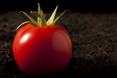 Tomato on Soil Stock Photography