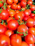 The tomato Solanum lycopersicum, L. 1753 - identified according to the International Code of Botanical Nomenclature ICBN Lycope. Rsicon esculentum L. Karsten ex royalty free stock images