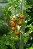 Tomato (Solanum lycopersicum) plant Royalty Free Stock Photography