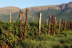Tomato Source. Tomato plants growing at the foot of Magaliesberg Mountains Hartebeespoort Dam Gauteng Province Stock Images