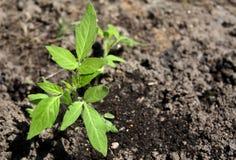 Tomato sprout Stock Photos