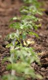 Tomato sprout Royalty Free Stock Images