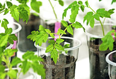 Tomato sprout with plastic cups Stock Image