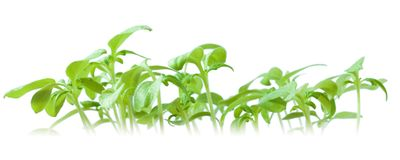Tomato Sprouts Stock Images