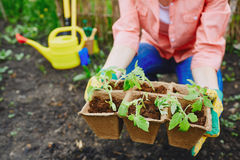 Tomato sprouts in peat pots Royalty Free Stock Photography