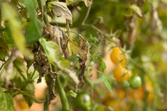 Diseases Of Tomato, late blight. Tomato Stricken Phytophthora Phytophthora Infestans. Tomatoes get sick by late blight Royalty Free Stock Images