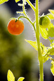Tomato in the Sun. Red tomato hanging on vine in the sun, backlit Royalty Free Stock Images