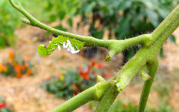 A Tomato / Tobacco Hornworm as host to parasitic braconid wasp eggs Royalty Free Stock Photography