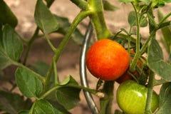 Tomato on a tree Royalty Free Stock Image