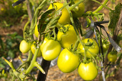 Tomato on tree Stock Images