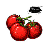 Tomato vector drawing. Isolated tomatoes on branch. Vegetable Royalty Free Stock Photography