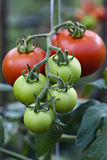 Tomato on vine. Organic tomato vine in greenhouse Stock Photos