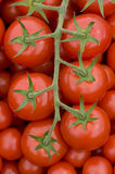 Tomato on the vine Stock Photography