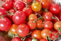 Tomato vine Royalty Free Stock Photo