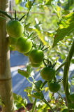 Tomato vine Royalty Free Stock Photography